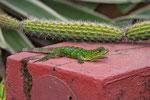 Schwarzleguans (Ctenosaura similis), Jungtier (deshalb ist er noch grün...)