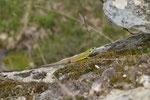 Weibliche östliche Smaragdeidechse