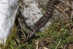 Paarung (das Weibchen hat aufgrund einer früheren Verletzung nur einen Stummelschwanz)