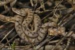 Aspisviper, Weibchen, Westschweiz