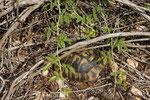 Links hinter der Schildkröte liegt eine gut getarnte halbwüchsige Sandotter