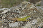 Östliche Smaragdeidechse, Weibchen