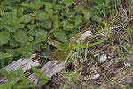 Smaragdeidechsen, Pärchen aus der Südschweiz