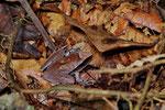 Regenfrosch (Craugastor mimus)
