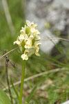 Knabenkraut (Orchis sp.)