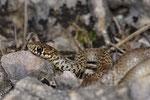 Balkanzornnatter (Hierophis gemonensis), Jungtier