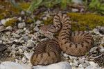 Aspisviper, halbjähriges Weibchen
