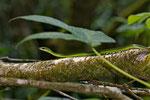Oliver's Parrot Snake (Leptophis nebulosus)