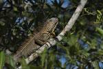 Grüner Leguan (Iguana i. rhinolopha)