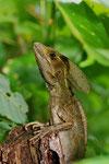 Streifenbasilisk (Basiliscus vittatus), Männchen