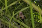 Weissschulterkapuziner (Cebus capucinus), Jungtier