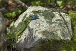 Smaragdeidechse, Männchen