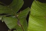 Katzenaugennatter (Leptodeira septentrionalis)
