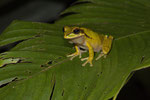 Costa Rica-Laubfrosch (Smilisca phaeota)