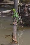 Stirnlappenbasilisk (Basiliscus plumifrons), junges Männchen