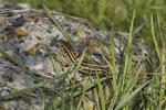 Jungtier der Riesensmaragdeidechse (Lacerta t. dobrogica)