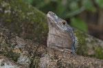 Schwarzleguan (Ctenosaura similis), Männchen