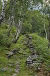 Birkenwald im Valle Maggia, Ticino