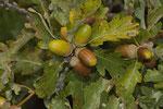 Eicheln (Quercus pubescens)