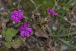 Steinnelke (Dianthus sylvestris)