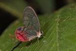 Glasflügel-Schmetterling (Cithaerias pireta)