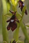 Fliegen-Ragwurz (Ophrys apifera)
