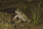 Kreuzkröte (Bufo calamita), Männchen