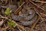 Aspisviper, Jungtier (Weibchen)
