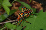 Mesquite Bug (Thasus acutangulus)
