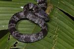 Schneckennatter (Sibon nebulatus)