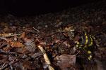Feuersalamander (Salamandra s. terrestris)