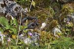 Weibliche Viper im sommerlichen Habitat