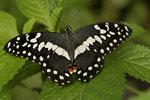 Zitrusschwalbenschwanz (Papilio demodocus)
