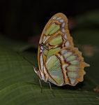Malachitfalter (Siproeta stelenes ssp.)