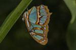 Malachitfalter (Siproeta stelenes biplagiata)