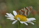 Scheckenfalter (vermutlich Melitaea didyma)