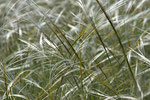 Gräser im Karst