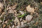 Östliche Smaragdeidechse, Männchen