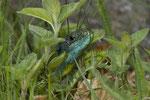 Eine männliche Smaragdeidechse in der Krautschicht