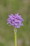 Orchidee (vermutlich Orchis sp.)