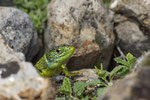 Portrait eines Smaragdeidechsen-Weibchens