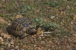 Maurische Landschildkröte (Testudo g. ibera)