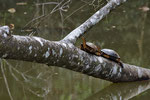 Bauchstreifen-Erdschildkröten (Rhinoclemmys funerea )