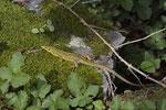 Smaragdeidechsen-Weibchen
