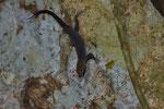 Gelbkopfgecko (Gonatodes albogularis)