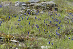 Traubenhyazinthen (Muscari sp.)