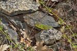 Riesensmaragdeidechse (Lacerta trilineata dobrogica)