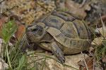 Maurische Landschildkröte, Jungtier