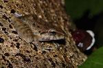 Regenfrosch (Craugastor fitzingeri)