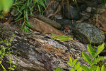 Smaragdeidechse, Weibchen aus der Südschweiz